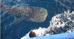 Whale Shark Approaches the Boat