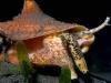 queen-conch2